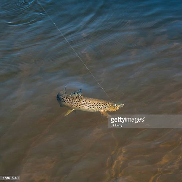 gone fishing... - brown trout stock pictures, royalty-free photos & images