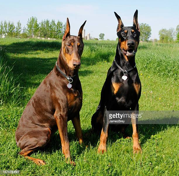 Good Dogs Sitting; Two Noble Dobermann Pinschers in Green Grass