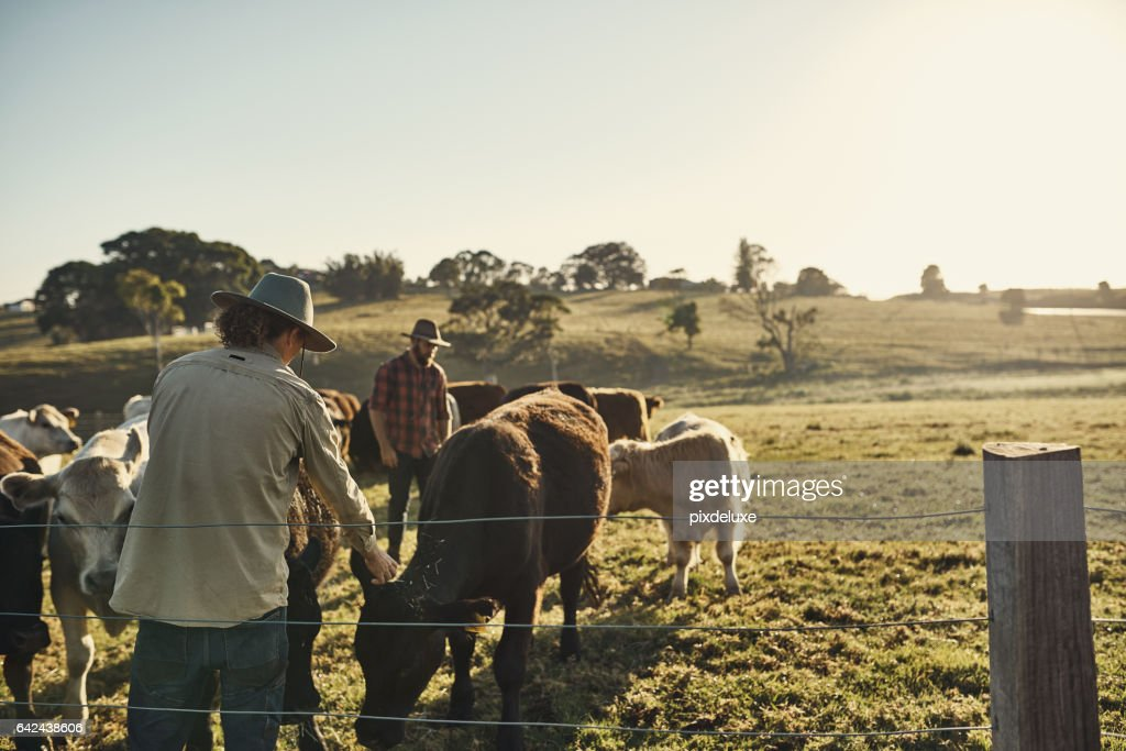 Good farmers get to know their herds : Stock Photo