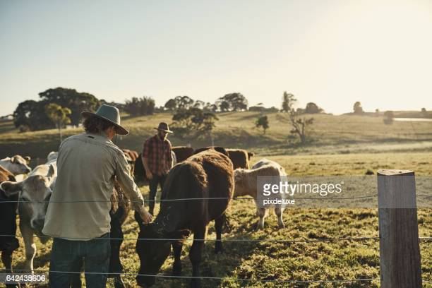 good farmers get to know their herds - livestock stock pictures, royalty-free photos & images