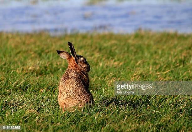 good hare day - lepre comune foto e immagini stock