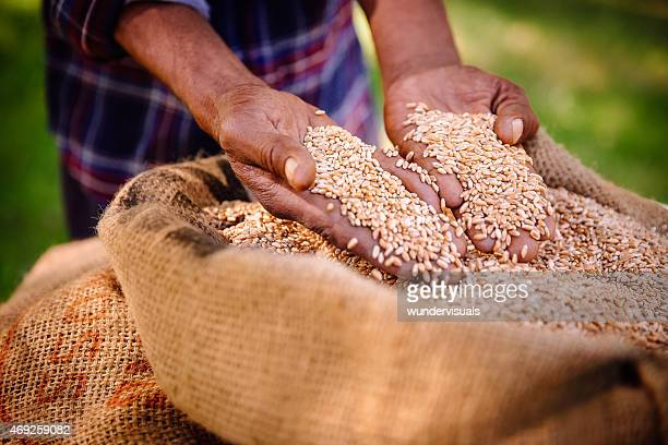 Good harvest of wheat on farm means food and produce