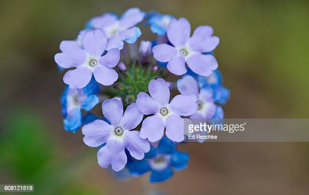goodding verbena, a native desert plant - lantana stock pictures, royalty-free photos & images