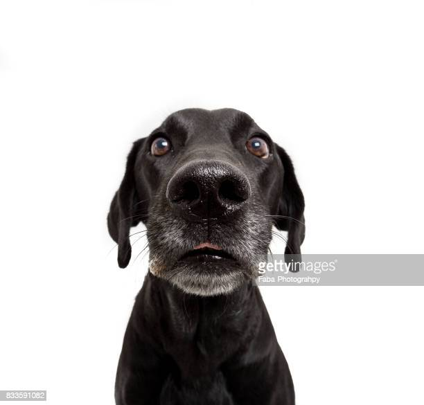goofy dog - black labrador stock pictures, royalty-free photos & images