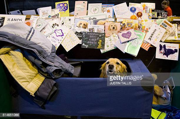 Goog luck cards sit pinned above a golden retriever's stall on the first day of the Crufts dog show at the National Exhibition Centre in Birmingham...