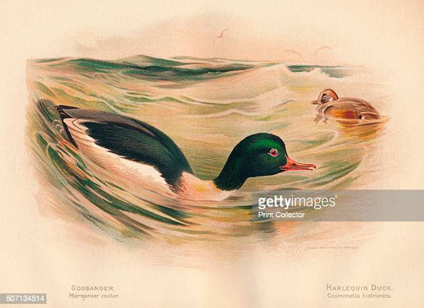Goosander Harlequin Duck ' From The Game Birds and Wild Fowl of The British Islands by Charles Dixon illustrated by Charles Whymper [Pawson...