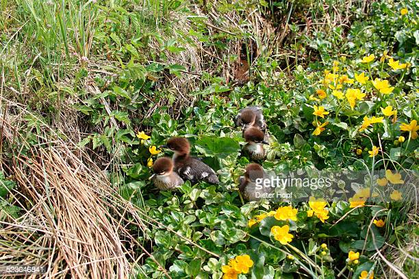 goosander or common merganser chicks -mergus merganser-, one day, between marsh marigold flowers, allgaeu, bavaria, germany, europe - between stock pictures, royalty-free photos & images