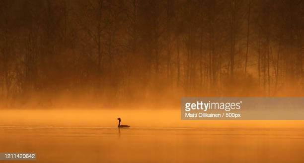 goose at golden hour, hanhi, finland - golden hour stock pictures, royalty-free photos & images