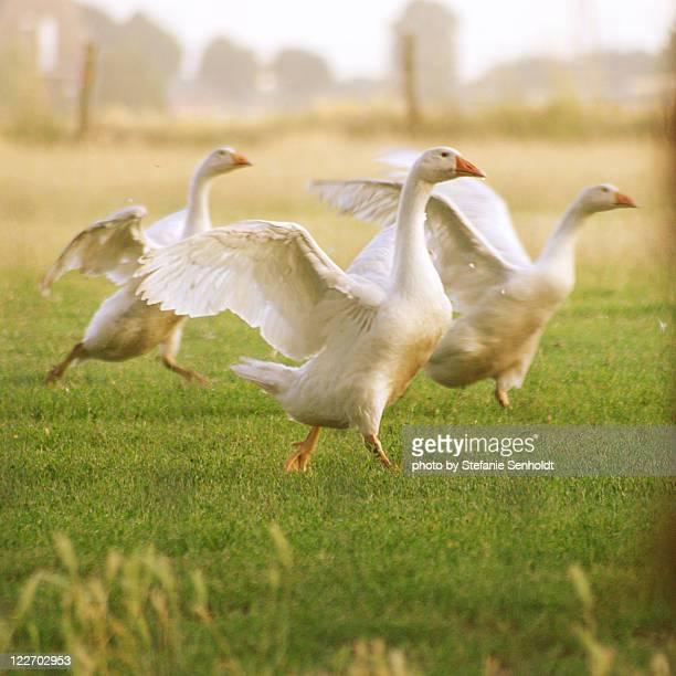 Goose ballet