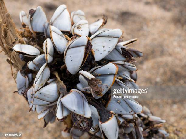 Goose Barnacles, Lepas anatifera, Washed up on a beach in Cornwall, UK.