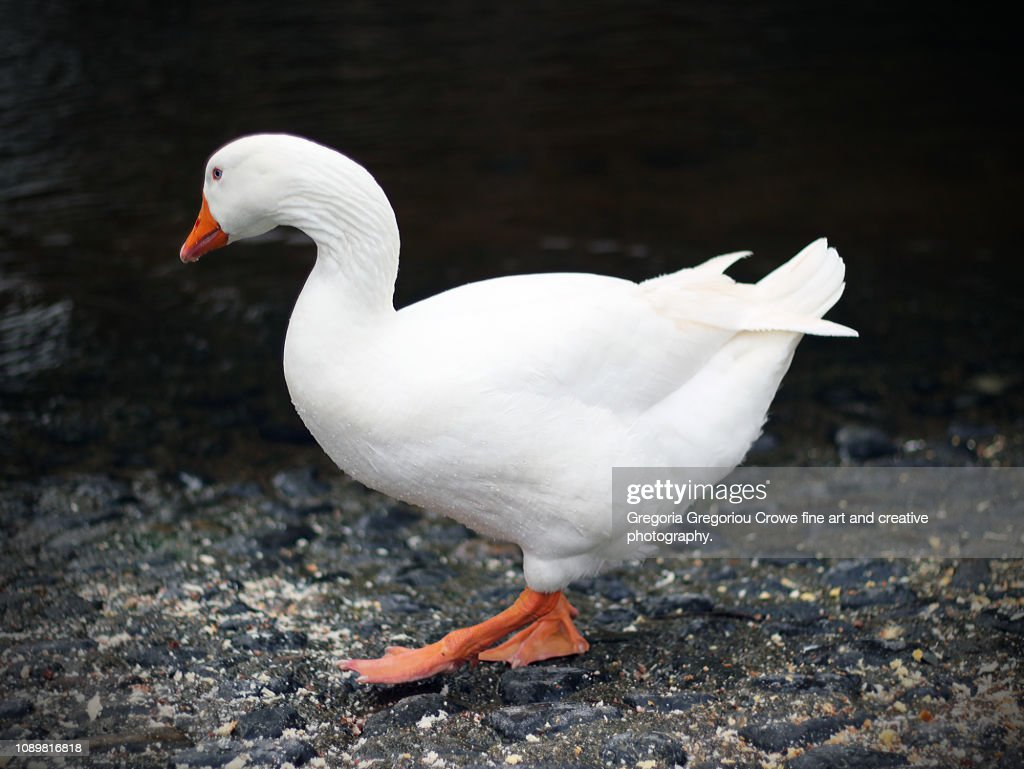 Goose By The River/Stream : Stock Photo