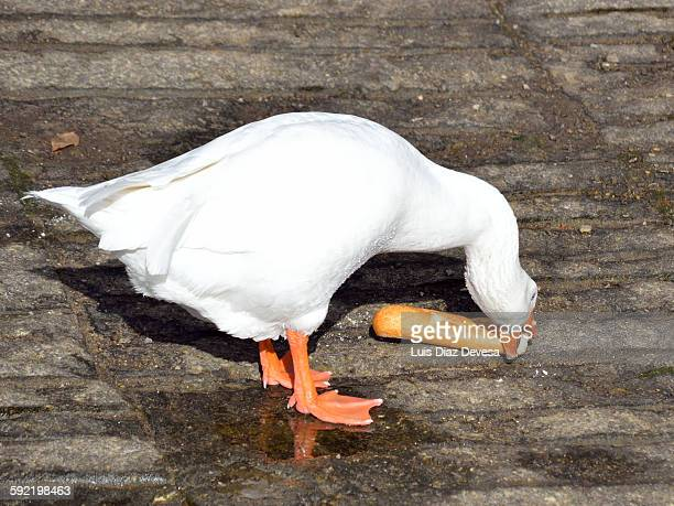 Goose eating bread