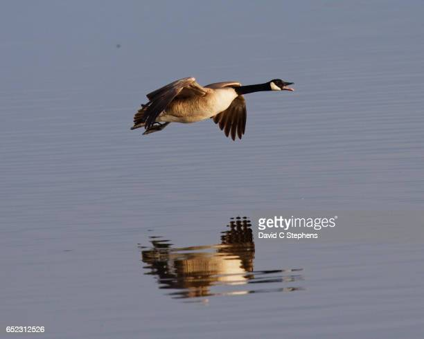 Goose Flight Reflection