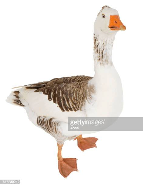 Goose from Normandy Can be outlined Profile view partially turned away