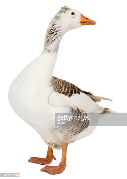 Goose from Normandy Can be outlined Profile view