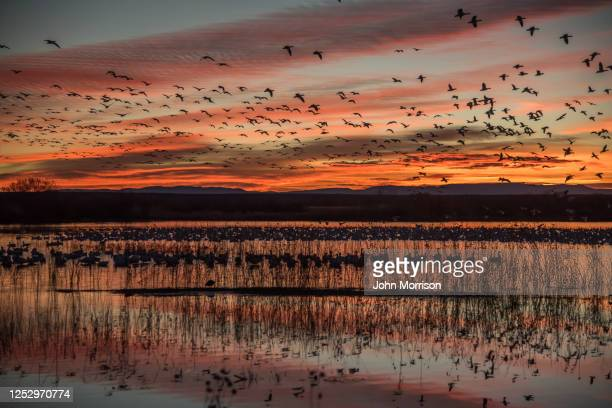 goose geese fly at sunrise in wildlife refuge - abundance stock pictures, royalty-free photos & images