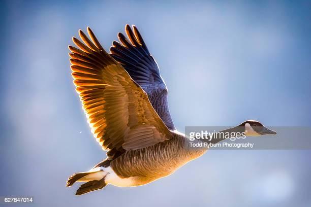 goose in close - kanadagans stock-fotos und bilder