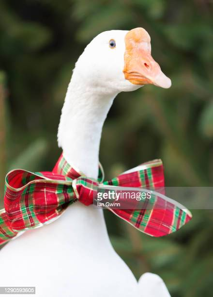 goose in red and green bow - ian gwinn bildbanksfoton och bilder
