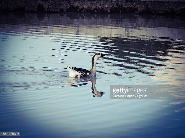 goose in water - lopez stock pictures, royalty-free photos & images