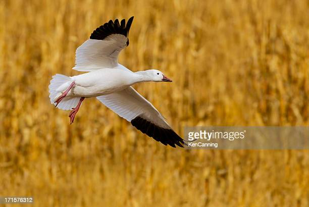 Goose Landung im Corn Field