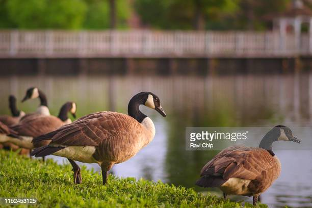 goose on a lakeside basking in dusk - kanadagans stock-fotos und bilder