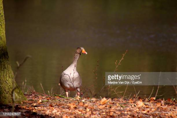 goose perching on leaves - van dijk stock pictures, royalty-free photos & images