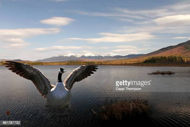 Goose spreading wings at small pond in New Hampshire, USA