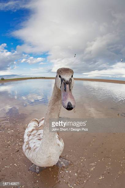 A Goose Standing On The Beach Staring At The Camera