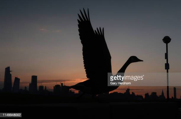 A goose takes flight as the sun rises in New York City on May 17 2019 as seen from Hoboken New Jersey