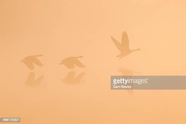Goose Trio