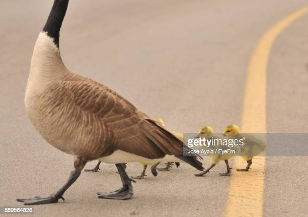 goose with goslings walking on road - jose ayala fotografías e imágenes de stock