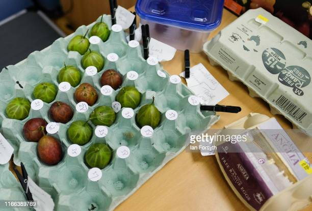 Gooseberries are brought in egg boxes to be weighed during the annual Egton Bridge gooseberry show on August 06 2019 in Whitby England The gooseberry...