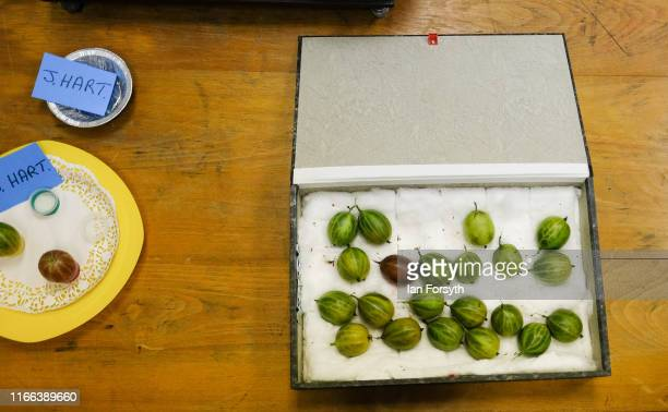 Gooseberries are delivered in a bow prior to weighing during the annual Egton Bridge gooseberry show on August 06 2019 in Whitby England The...