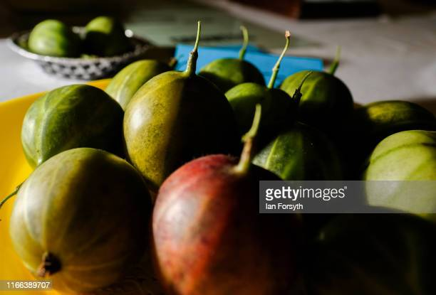 Gooseberries are displayed on a table after being weighed during the annual Egton Bridge gooseberry show on August 06 2019 in Whitby England The...