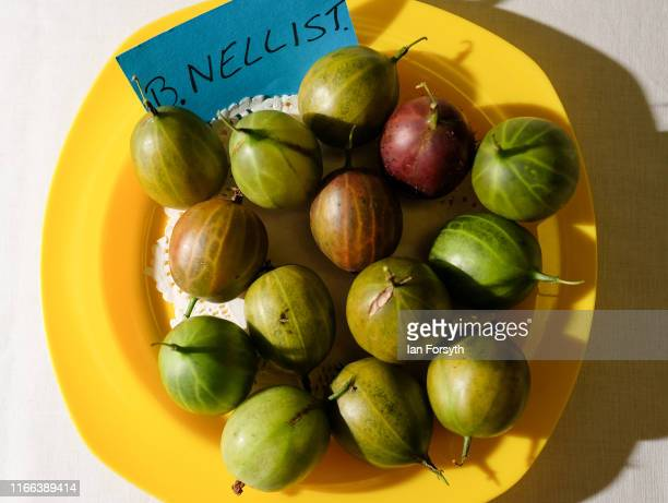 Gooseberries are laid out on display after they have been weighed during the annual Egton Bridge gooseberry show on August 06 2019 in Whitby England...