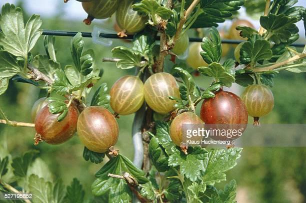 Gooseberries hanging on the shrub