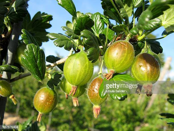 Gooseberries with prickles