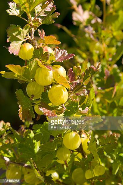 Gooseberry bush.