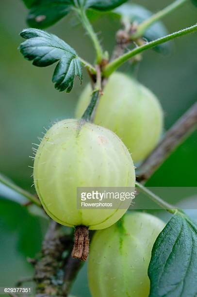 Gooseberry Ribes uvacrispa