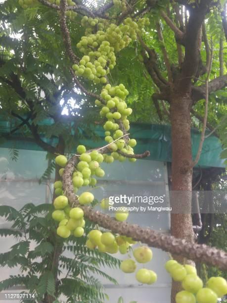 Gooseberry Tree