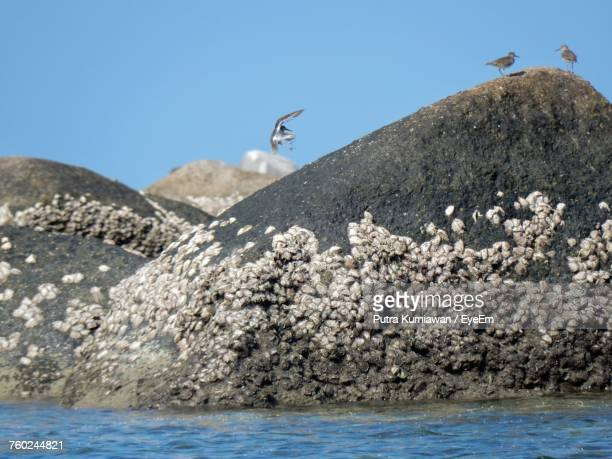 gooseneck barnacles on rocks by sea against clear sky - barnacle stock pictures, royalty-free photos & images
