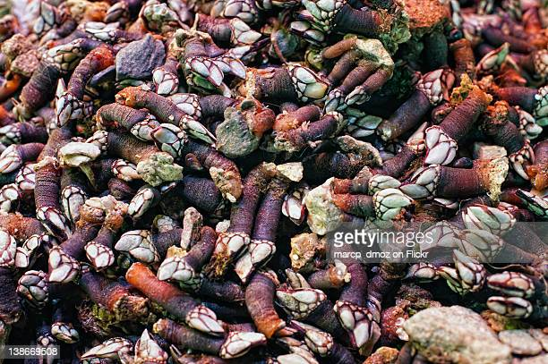 gooseneck barnacles - barnacle stock pictures, royalty-free photos & images