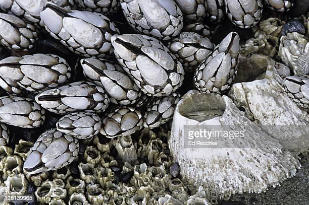 gooseneck barnacles, pollicipes polymerus, and acorn barnacles, balanus glandula, sessile anthropods, oregon coast, usa - barnacle stock pictures, royalty-free photos & images