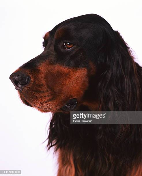 gordon setter against white background, head-shot - colin hawkins stock pictures, royalty-free photos & images