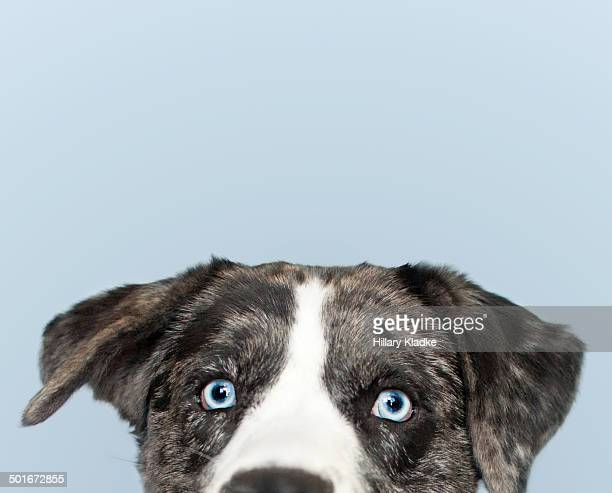 gorgeous dog peeking over frame - catahoula leopard dog stock photos and pictures