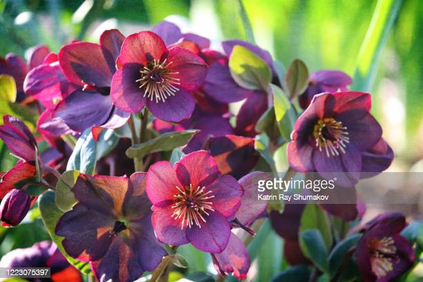 gorgeous lenten roses of spring - ヘレボルス ストックフォトと画像