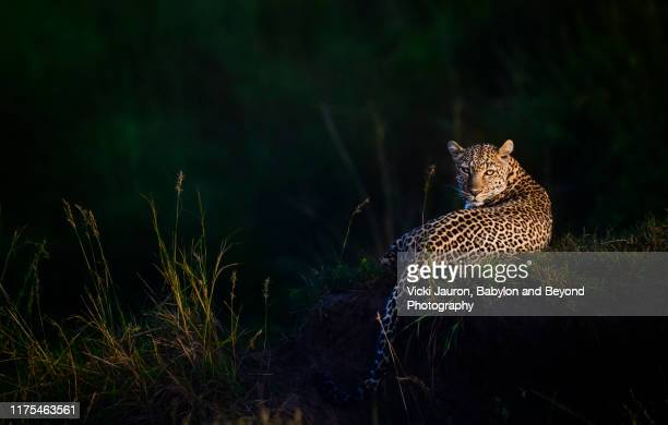 gorgeous leopard, called luluka, illuminated at sunrise in masai mara, kenya - dark panthera stock pictures, royalty-free photos & images