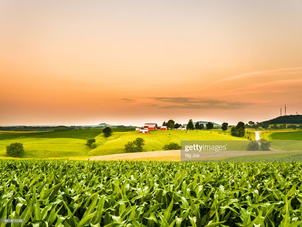 Gorgeous panoramic farm or agricultural scene with a corn field in the foreground and rolling hills with a cow pasture and barns along the orange colored sky horizon. : Stock Photo