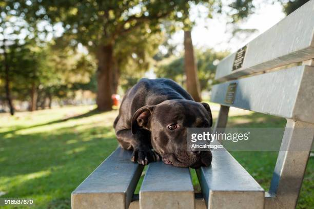Gorgeous Pit Bull Terrier lying on a bench at the park.