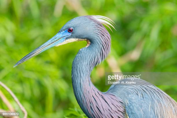gorgeous tricolored heron in breeding colors - orlando florida stock photos and pictures